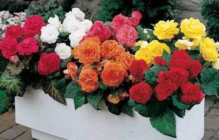 http://articulo.mercadolibre.cl/MLC-428323328-flores-begonias-mix-colores-semillas-seleccionadas-_JM